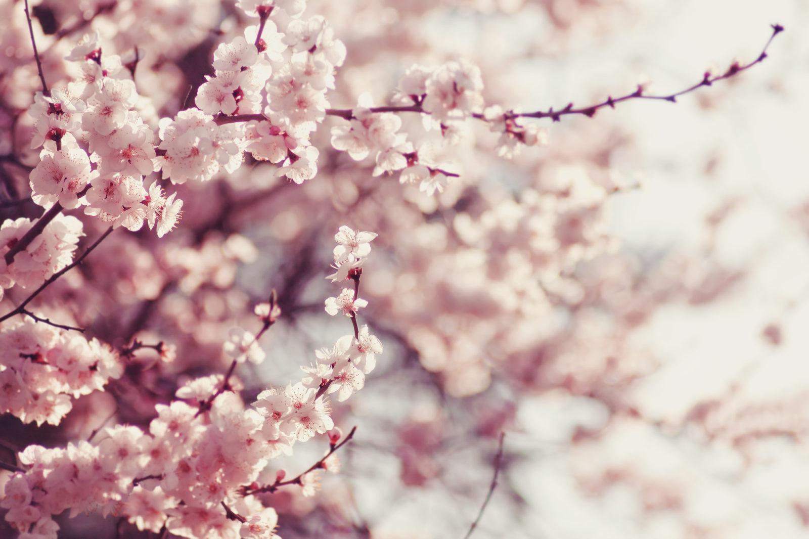 cherry blossom macro